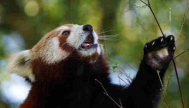 the red panda essay