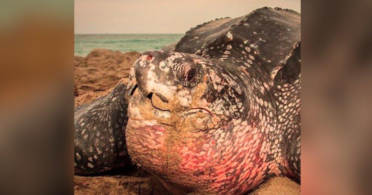 Giant sea turtle mouth