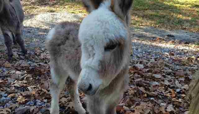 This Baby Donkey Rocking An Extra Fluffy Hairdo