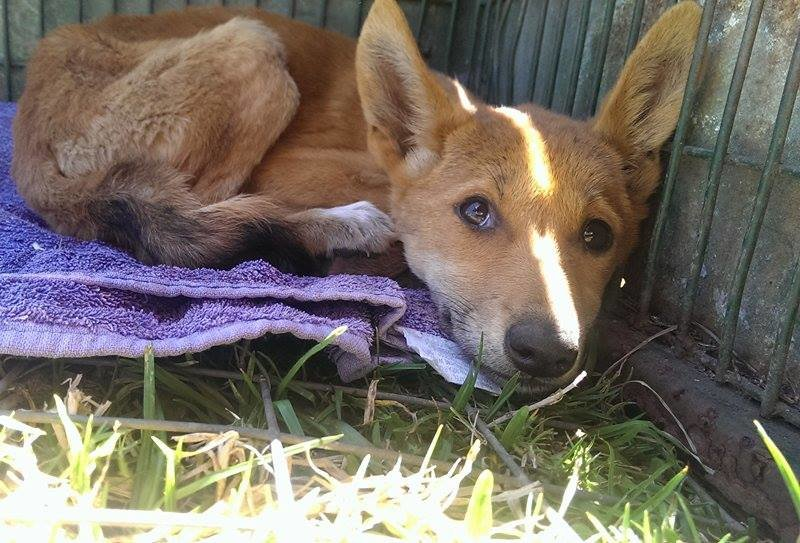 Domestic Dogs That Look Like Dingos
