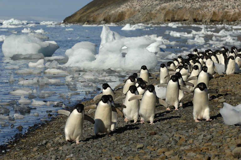 Drones helped discover a supercolony of 1.5 million Adélie penguins