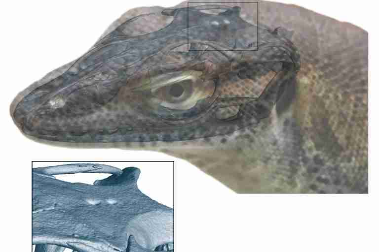 This Ancient Monitor Lizard Had Four Eyes