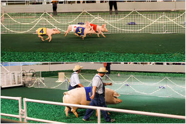 pig races and fat pig