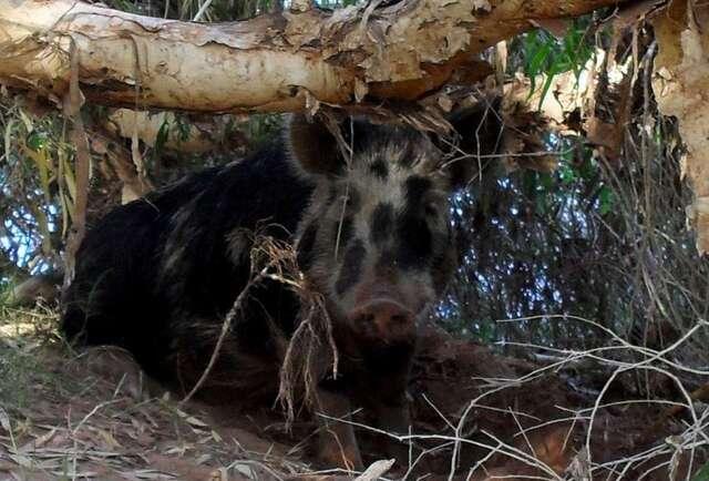 Heroic beer-stealing pig found dead