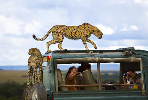 cheetahs on truck