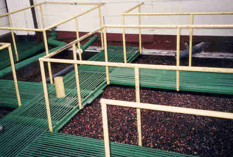coffee bean sorting in water