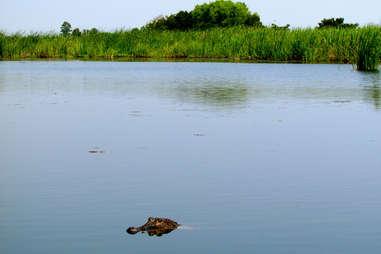 alligator peeking out of water