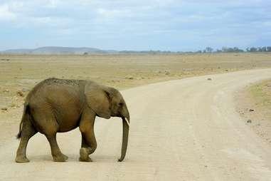 Elephant x-ing
