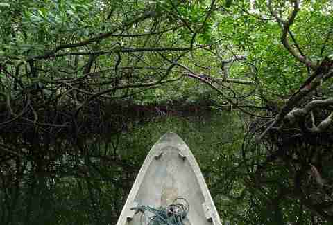 Mangrove and canoe