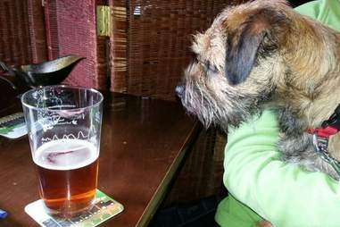 Border terrier with beer