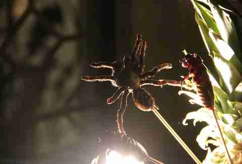 Tarantula on a stick