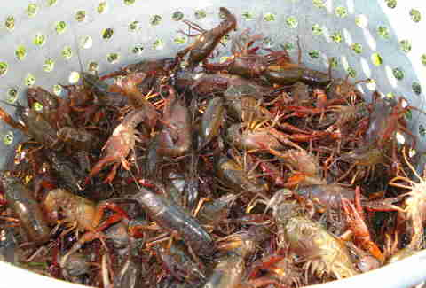 live crawfish