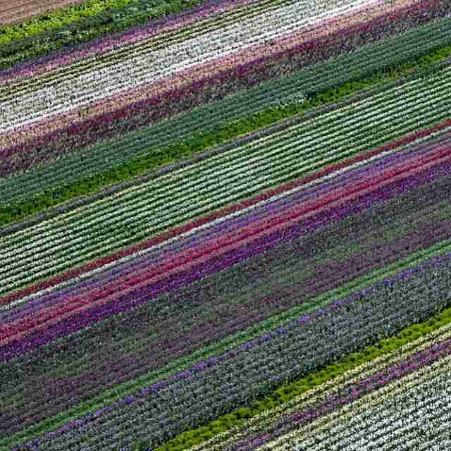 California flower fields