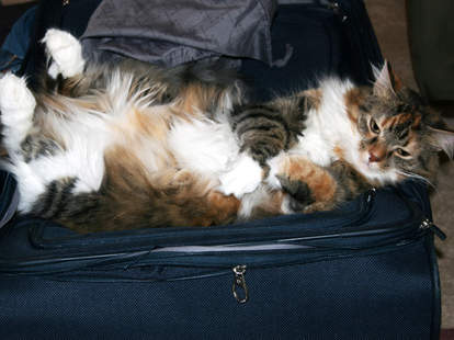 cat in luggage