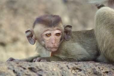 big ear baby monkey