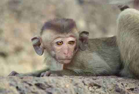 big ear baby monkey