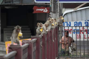 monkeys on a fence