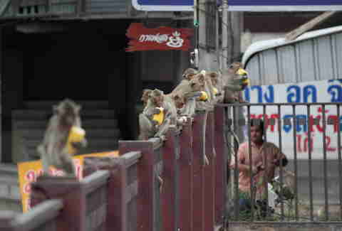 monkeys on a fence