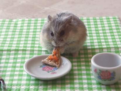 Hamster eating tiny pizza