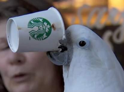 Parrot drinking Starbucks coffee