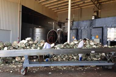 Agave plants ready for processing