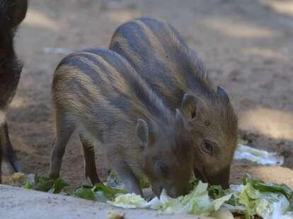Visayan warty piglets eat lettuce