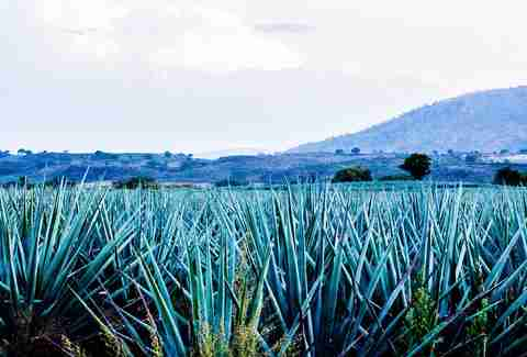 The agave fields at the Hacienda