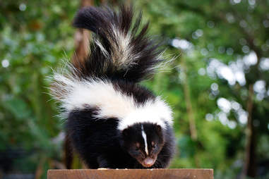 You will not smell like a skunk