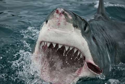 Great White Shark Attacks Cape Cod Kayakers