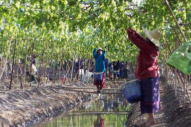 thai vineyard