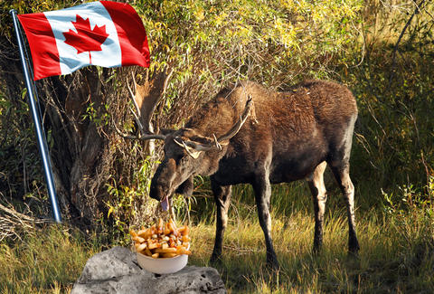 Moose eating poutine
