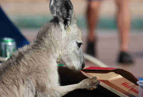 wallaroo eating pizza