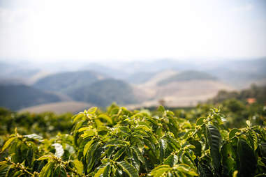 coffee plants in mountains