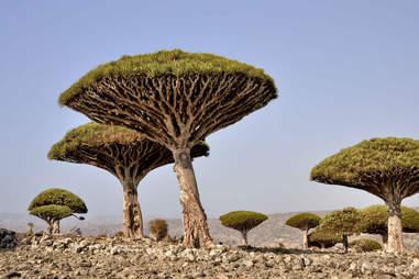 socotra yemen dragons blood tree