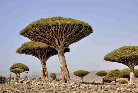 socotra yemen dragons blood tree