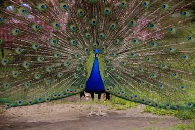 peacock island