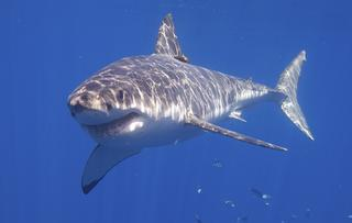The Eastern Seaboard Is Freaking Out Over a Great White Shark