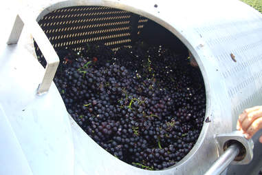 Vat full of grapes