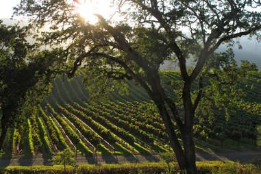 Sun over vineyards