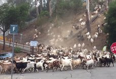 Watch Hundreds of Fire-Fighting Goats Stampede Down This Hill