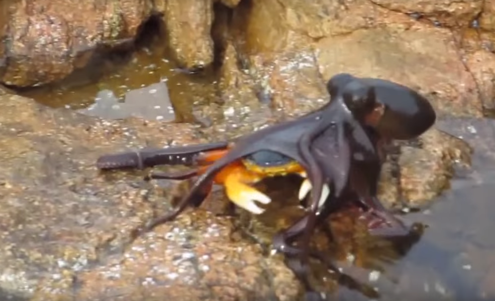 Watch: Octopus tackles crab on land in Australia - UPI.com