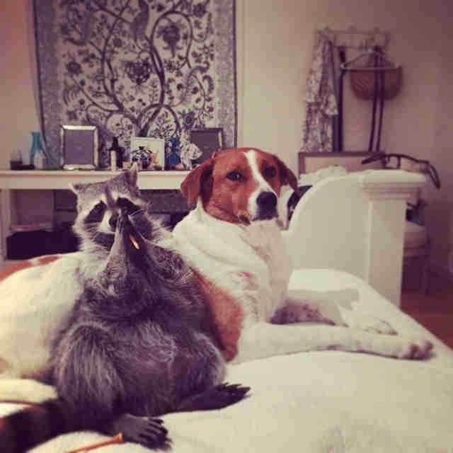 Pumpkin The Rescued Raccoons Instagram Account Thrillist - Pumpkin rescued raccoon