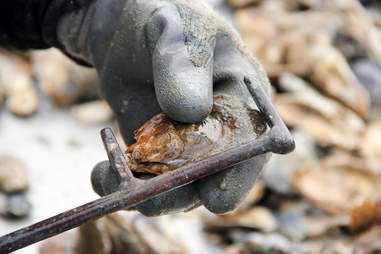 Measuring oyster