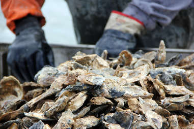 Oyster farmer sorting oysters