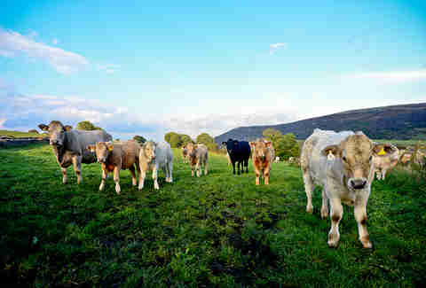 Cows in a field