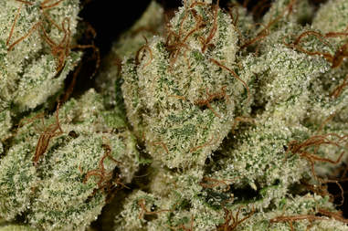 micro closeup of OG Kush cannabis strain