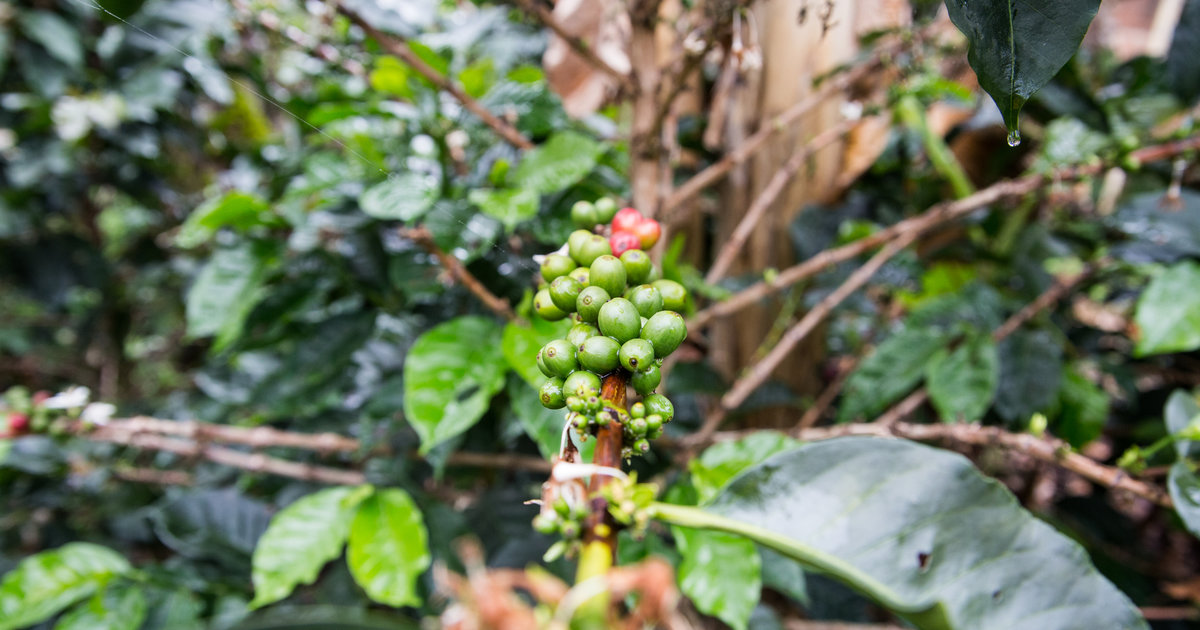 America Is Growing Coffee But Will People It Thrillist