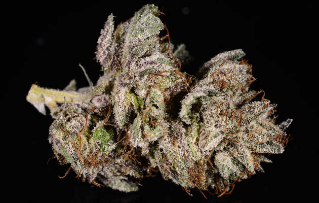 Everything You Need to Know About the Master Kush Weed Strain