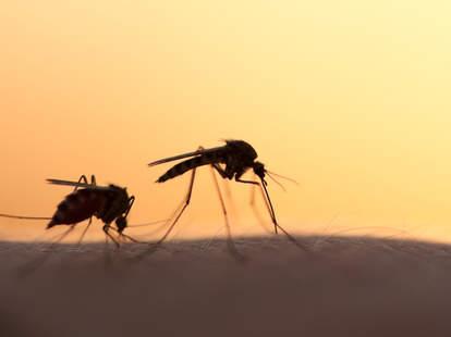 silhouetted mosquitos transmitting zika virus