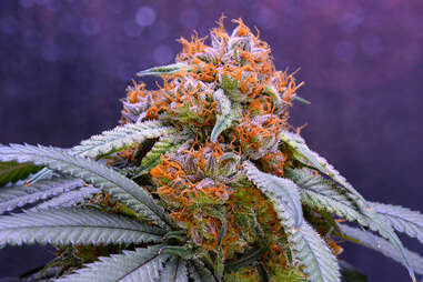 Granddaddy Purple marijuana strain weed plant